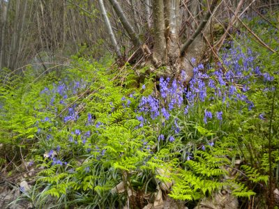Introduction to woodland coppicing and management